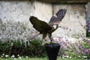 lacock-falcon